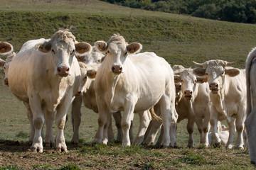 Vacas mirando de frente