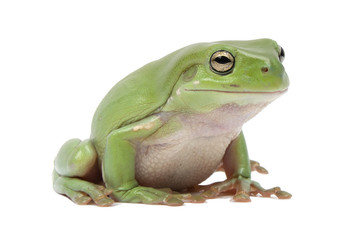 Green tree frog, Litoria splendida, on white background