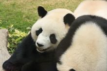 Giant panda bears playing together, China