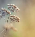 Fototapety Closeup of dry meadow flowers