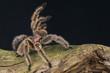 Pinktoe Tarantula / Avicularia urticans