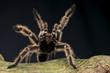 Leinwanddruck Bild - Peruvian pinktoe tarantula / Avicularia urticans