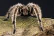 Surinam Pinktoe tarantula / Avicularia metallica