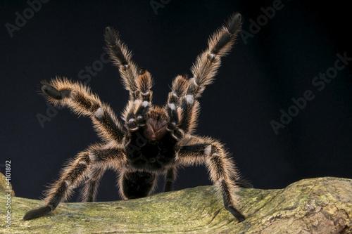Leinwanddruck Bild Peruvian pinktoe tarantula / Avicularia urticans