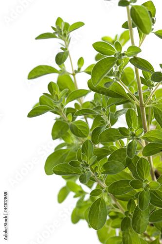 Marjoram (Origanum majorana) herb, close up