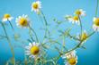 Chamomile Blossoms