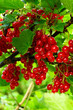 Shiny red currants