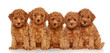 Toy Poodle puppies on a white background