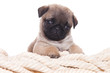 Pug dog on white background