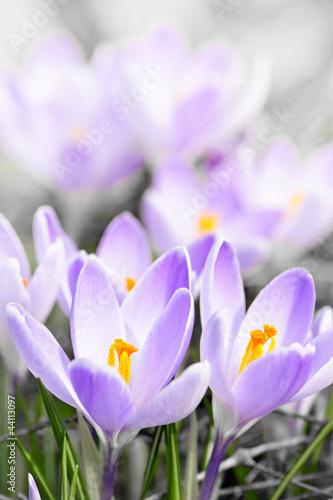 Foto op Aluminium Krokussen Purple crocus blossoms