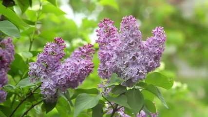 lilac flowers in the bush