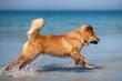 Elo-Welpe rennt am Meer durchs Wasser