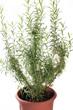 pianta di rosmarino in vaso