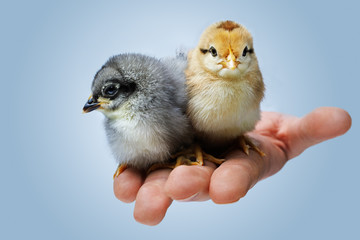 two day-old chicken on a hand