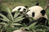Giant panda bears eating bamboo, China