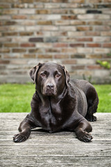 Chocolate Labrador in Garden