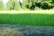 Rice field-12
