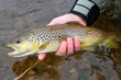 Release of a colorful Brown Trout by a fly fisherman - 44124675