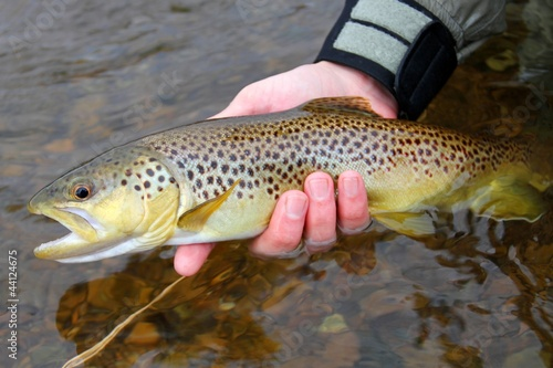 Aluminium Vissen Release of a colorful Brown Trout by a fly fisherman