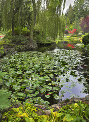 Lilies in a pond.