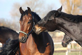 Brown and black horses playing