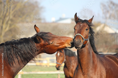 Two bay horses playing