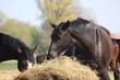 Black horse eating hay