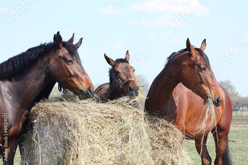 Horse herd eating hay