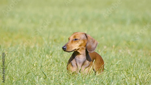 HD - Dog on the lawn