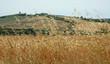 Spighe di cereali nella campagna toscana, Toscana, Italia