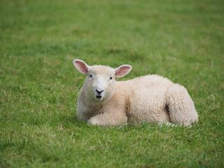 Cut Baby Lamb