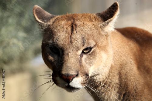 Staande foto Puma Puma ( felis concolor)