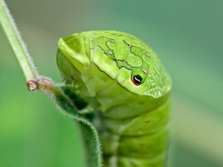 Close-up of a big green caterpillar (Papilio dehaanii) on a leaf