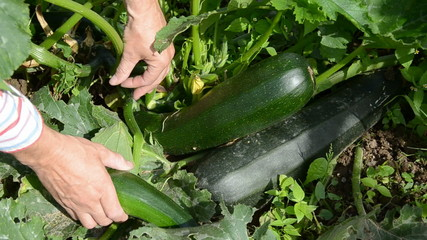 harvesting fresh zucchini in rural farm