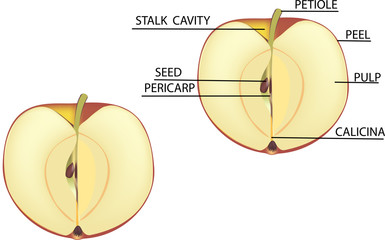 section of apple
