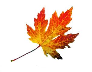Farbe des Herbstes: Ahornblatt