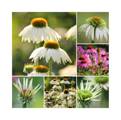 Echinacea Collage
