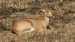 Female steenbok antelope (Raphicerus campestris)