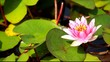 Purple water lily flower floating in a lily pond