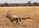 Gemsbok and springbok