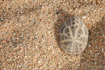 guscio di riccio di sabbia 1