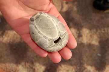 guscio di riccio di sabbia
