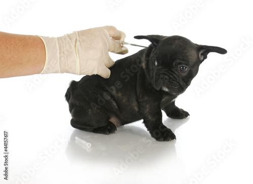 microchipping puppy