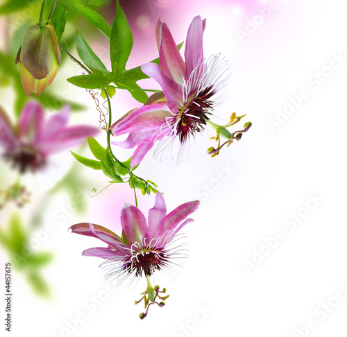 Passiflora Border Design
