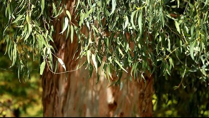 Eucalyptus leaves over blured tree background