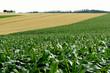 美瑛のトウモロコシ畑