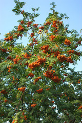 Many rowanberries bunches on tree brunches isolated