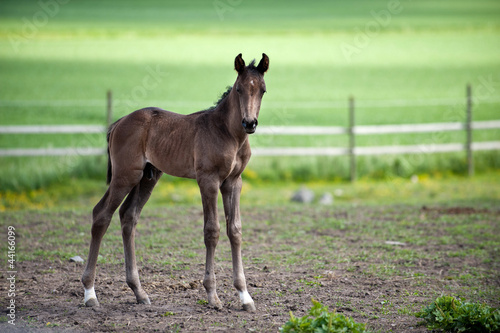 Young and proud foal in the Swedish countryside