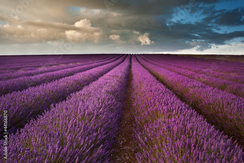 Beautiful lavender field landscape with dramatic sky - 44166870