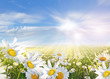 Summer: Field of daisy flowers with blue sky and clouds